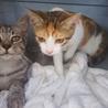 超美猫の三毛さんです サムネイル3