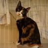 美しい三毛猫姉妹おりちゃん、しつけ・医療済 サムネイル2
