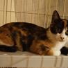 美しい三毛猫姉妹おりちゃん、しつけ・医療済 サムネイル5