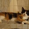 美しい三毛猫姉妹おりちゃん、しつけ・医療済 サムネイル3