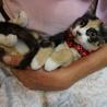 美しい三毛猫姉妹おりちゃん、しつけ・医療済 サムネイル7