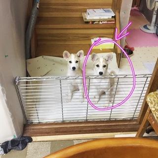 愛媛県動物愛護センターから引き出した仔犬の女の子