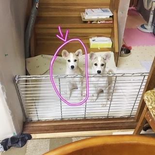 愛媛県動物愛護センターから引き出した仔犬ちゃん
