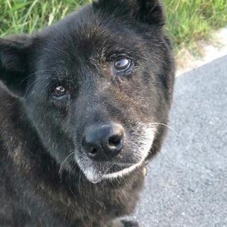 3度も捨てられた甲斐犬老犬10歳
