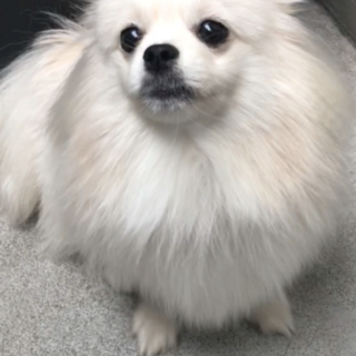 MIX犬  ポメラニアンーペキニーズ