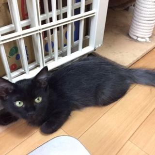 黒とグレーがお洒落(長毛)お姉ちゃん気質猫