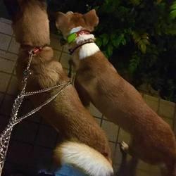 保護犬ひろみちゃんの野犬の馴らしお預かり日誌