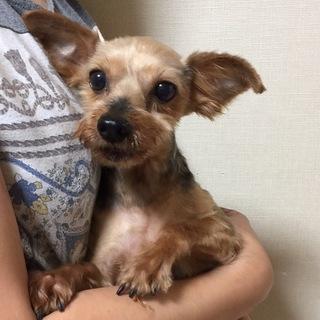 美犬ヨーキー♀備前(びぜん)