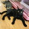 美形の黒猫☆5ヶ月半 トド松くん サムネイル3