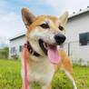 柴犬♀推定2歳のソヨのご家族さま決定!