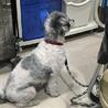 安楽死希望で持ち込まれた犬、ルビーちゃん7歳 サムネイル5
