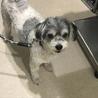 安楽死希望で持ち込まれた犬、ルビーちゃん7歳 サムネイル6
