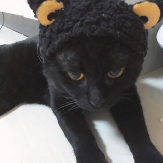 人懐っこい黒猫 垂れ耳スコティッシュフォールド♂