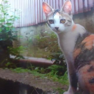 とっても美人な三毛猫ちゃん 推定4ヶ月位