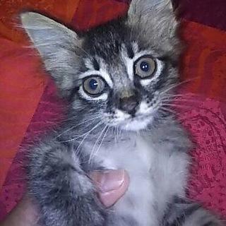 愛らしいロン毛のキジ猫メメちゃん