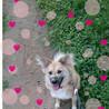 賢い甘えたさん。犬が大好き、ふわふわ風花ちゃん サムネイル7
