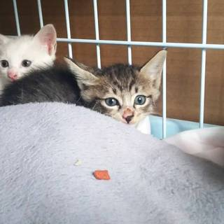 キジ&白猫ちゃんの家族募集(代理投稿)