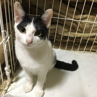 美人な白黒子猫ちゃん 4カ月