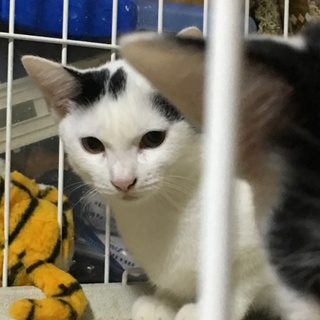 白猫4ヶ月の子猫ちゃん 里親さん募集中