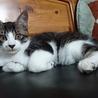 大人しくて人にも猫にも優しいキジトラ白。