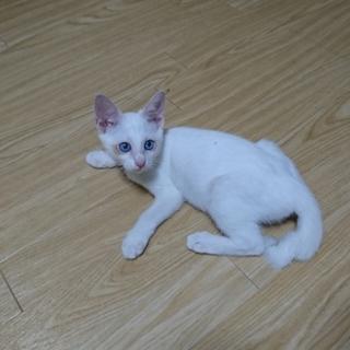 白い子猫、里親募集中です。