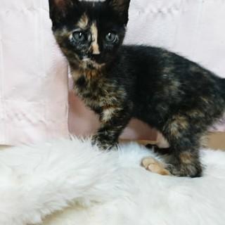 美人子猫の里親さんを募集しています!