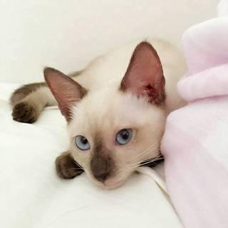 【東京武蔵小山発】シャム風子猫アポロくん