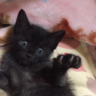 生後1ヶ月半 子猫 黒猫ちゃん