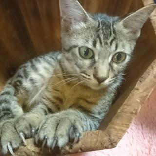 かなりひとなつっこいキジトラの子猫