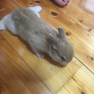 ミニウサギの仔ウサギ