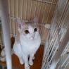 一匹飼いか猫エイズの先住猫のいるお家希望・マール サムネイル5
