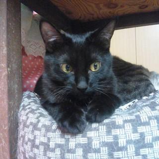 一匹飼いか猫エイズの先住猫のいるお家希望・ほたる