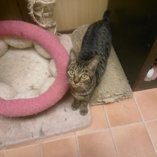 一匹飼いか猫エイズの先住猫のいるお家希望・まこと