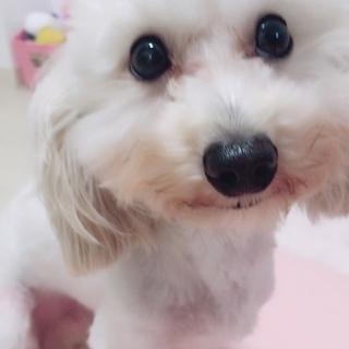 トイプードルとミニチュアダックスフンドmix犬