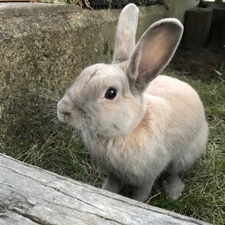 可愛いウサギの里親募集中