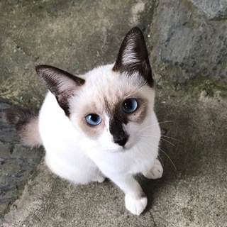 生後5ヶ月くらい青い目の子猫