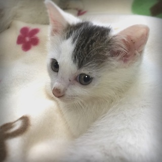 ちんまり生後1ヶ月:白キジの女の子:ヒナ