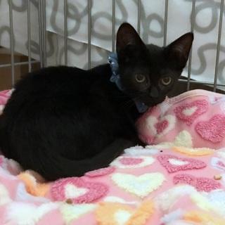 つやつやの黒毛ときらきらな瞳 幸福の黒猫「福」