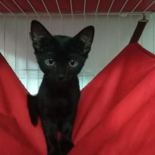 小岩★2ヶ月黒猫男の子兄弟★