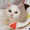 青い目の白猫☆朱(しゅん)ちゃん 5才 サムネイル3
