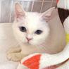青い目の白猫☆朱(しゅん)ちゃん 5才 サムネイル2