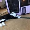 【広島県福山市】甘えん坊なハチワレ猫ちゃん♪♪ サムネイル2