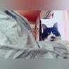 【広島県福山市】甘えん坊なハチワレ猫ちゃん♪♪ サムネイル3
