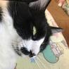 【広島県福山市】甘えん坊なハチワレ猫ちゃん♪♪ サムネイル4