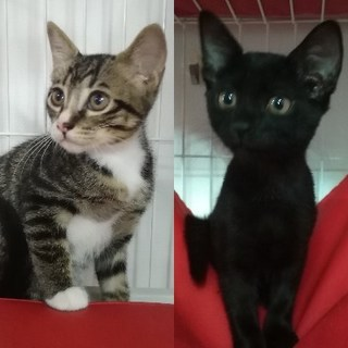 小岩★2ヶ月キジ白ソックス&黒の男の子兄弟