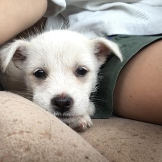 テリアのような可愛い子犬のうーさん