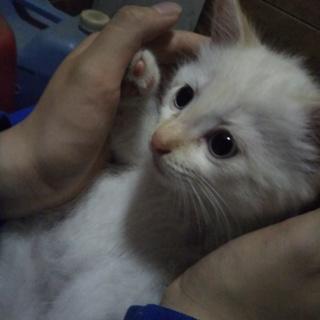 白レッドポイント子猫の男の子