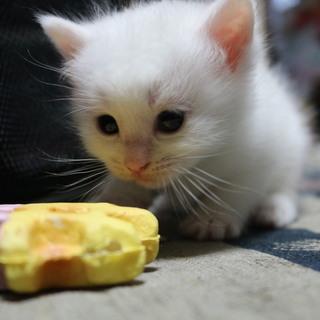 生後一か月の白猫子猫
