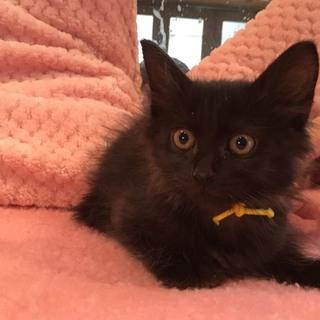 慣れ慣れ可愛半丁毛黒猫1ヶ月