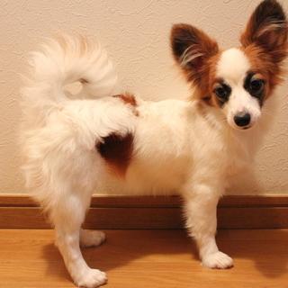 パピヨンの仔犬 美人さんの女の子 生後6カ月